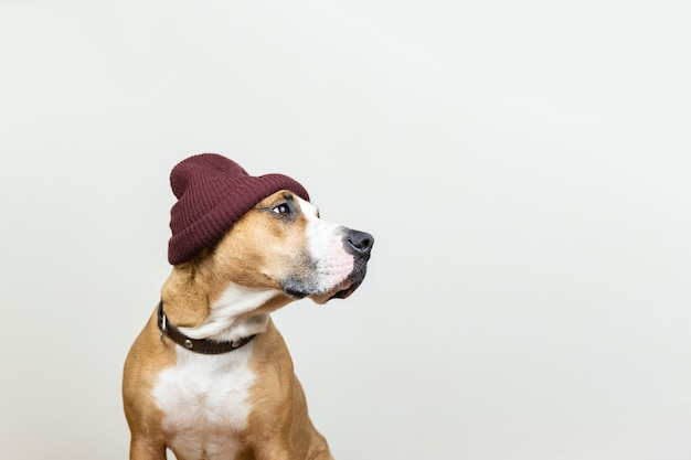Funny dog in red hipster knit hat. staffordshire terrier looks at copy space, winter accessories or seasonal concept