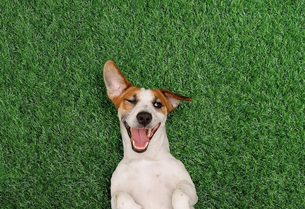 Смешная собака подмигивает и улыбается на зеленой траве в парке
