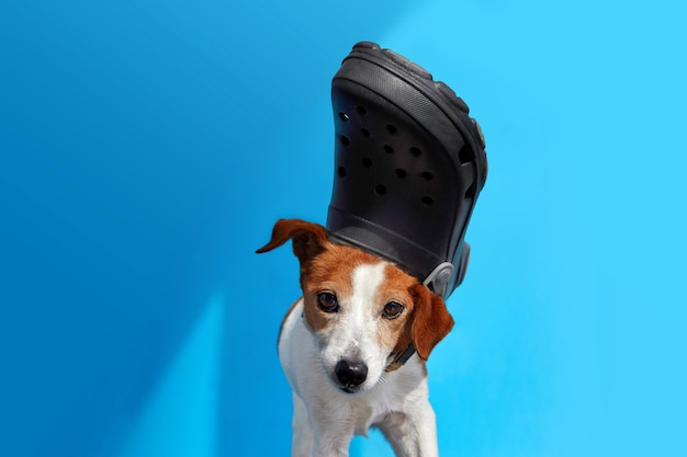 Funny dog with slipper on head blue background