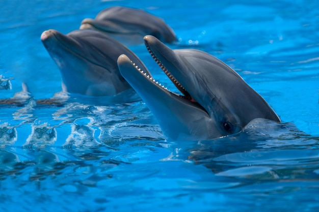 Funny dolphins in the pool during a show at a zoo