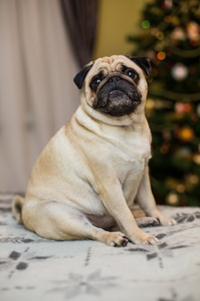 Funny dreamy pug with sad facial expression lying on the grey textile couch with blanket and cushion. domestic pet at home. purebred dog with wrinkled face. close up, copy space,.