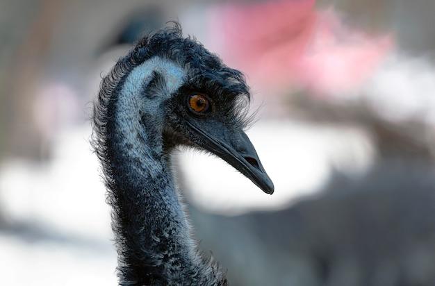 Забавная голова эму, страус (dromaius novaehollandiae). часть тела животного клюва, глаза и ухо птицы крупным планом. эму с длинной шеей. детальный портрет австралийского страуса эму. страусиный пух и перья.