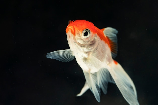 Funny face of beautiful betta fish isolated black background