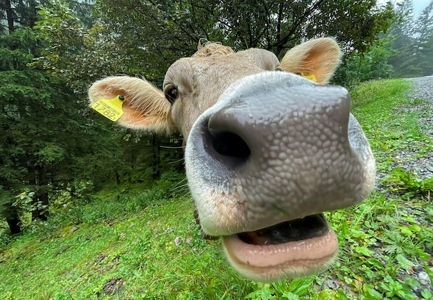 Funny face of a cow close up, focus on the eyes.