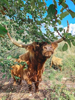 Funny face of highland cow between foliage of trees