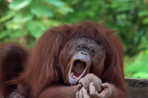 眠そうなオランウータンの変な顔