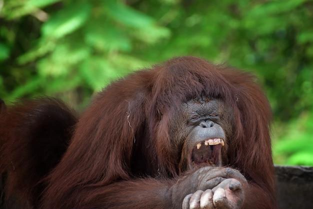 Funny faces of sleepy orangutan