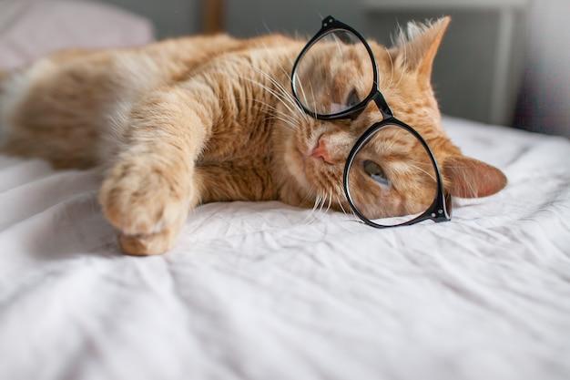 재미있는 뚱뚱한 생강 고양이는 침대에 누워 새로운 시작의 검은색 프레임에 안경을 가지고 노는다