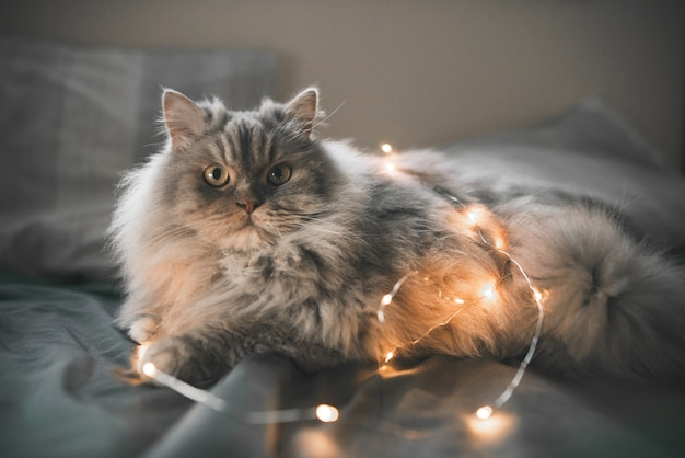 Funny, fluffy gray cat plays with lights in bed