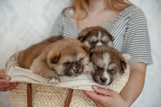 Funny fluffy puppies in a cozy basket in the hands of the owner.
