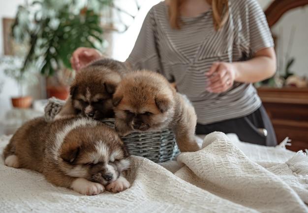 Веселые пушистые щенки возле уютной корзинки под присмотром хозяина. Premium Фотографии