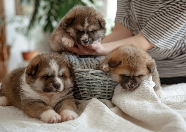 Funny fluffy puppies near a cozy basket under the supervision of the owner.