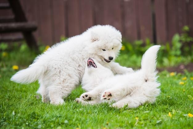 푹신한 흰색 사모예드 강아지들이 놀고 있습니다.