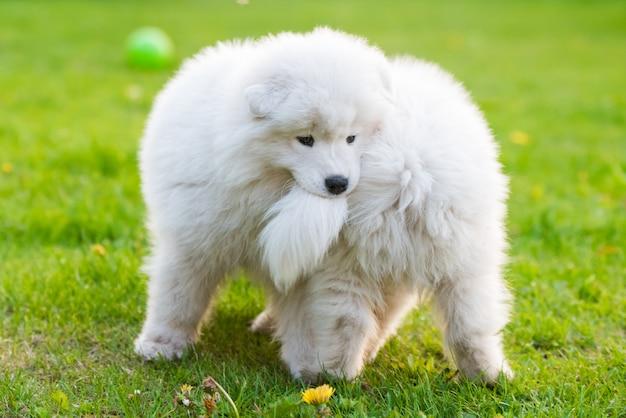 Веселые пушистые белые щенки самоеда играют