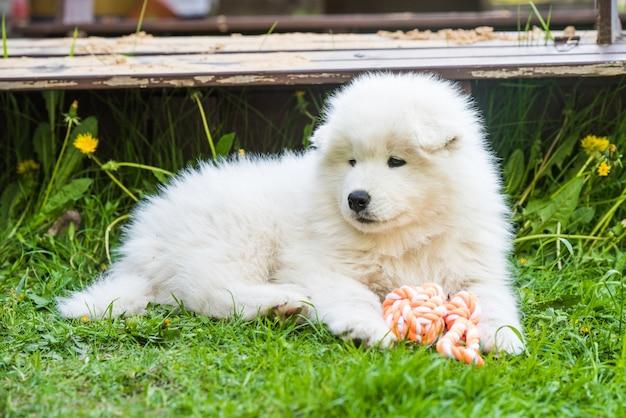 Забавный пушистый белый щенок самоеда играет с игрушкой