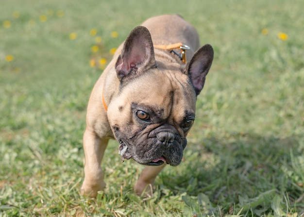 Funny french bulldog outdoors on a sunny summer day.