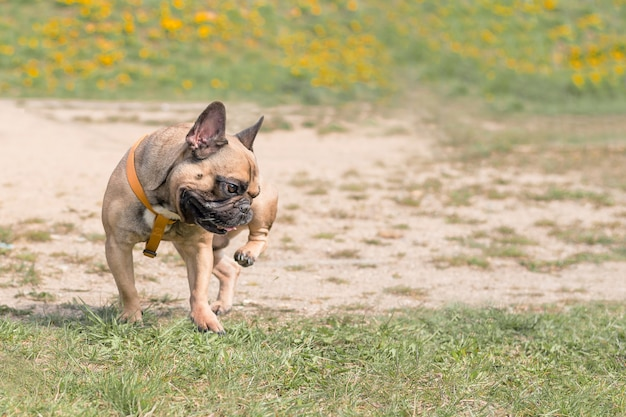 Funny french bulldog puppy dog stands on grass and scratching his body hind leg.