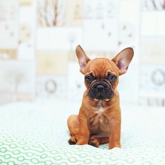 Funny french bulldog puppy portrait