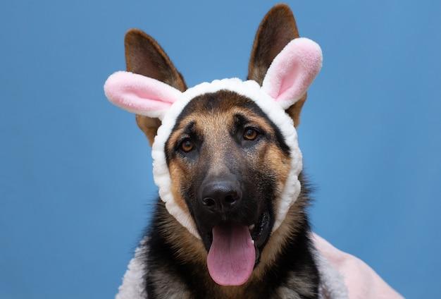 Забавная немецкая овчарка в кроличьих ушах на голове.