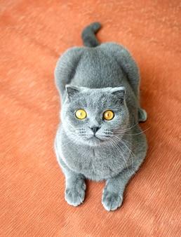 주황색 직물 소파에 있는 재미있는 회색 스코틀랜드 고양이가 올려다보고 있습니다.