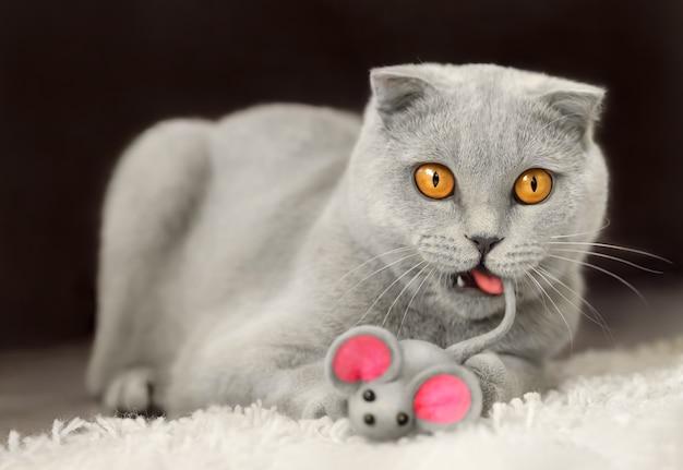 Смешной серый шотландский кот играет с игрушкой-мышкой и кусает свой хвост, лежащий на полу