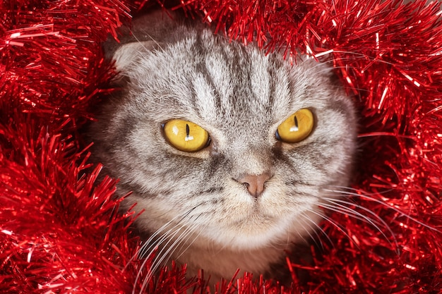 Funny gray scottish fold cat with yellow eyes in festive red tinsel