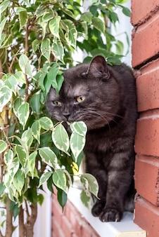 Funny gray scottish straight cat tasting houseplant leaf