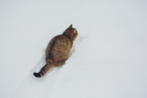 Funny gray tabby cat with yellow eyes walking on the deep snow, outdoors