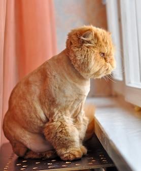 Забавный уход за персидской кошкой сидит на подоконнике