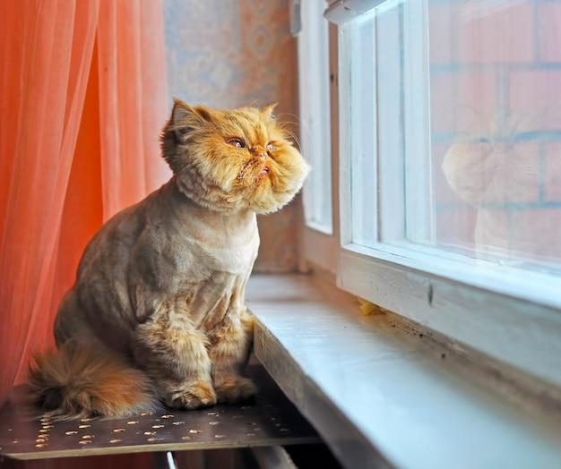 Забавный уход за рыжим персидским котом сидит на подоконнике