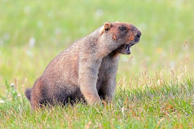 晴れた暖かい日に牧草地に座っているふわふわの毛皮を持つ面白いグラウンドホッグ悲鳴