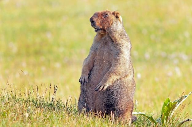 ふわふわの毛皮を持つ面白いグラウンドホッグは、晴れた暖かい日に牧草地に座っています。