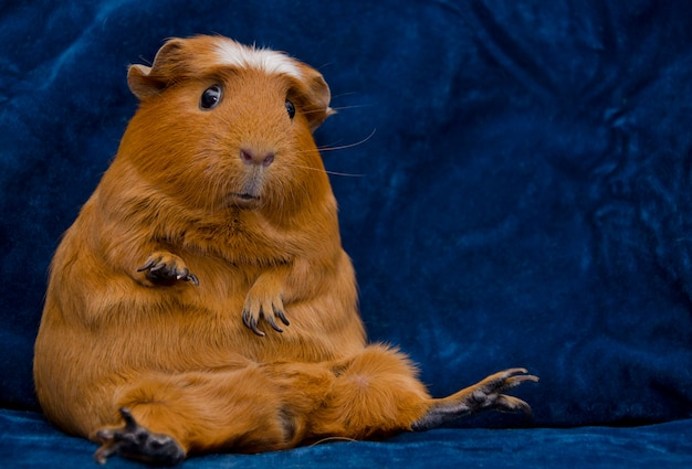 Funny guinea pig sitting in a funny pose on the dark blue background