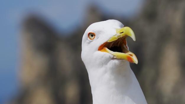 Смешная чайка смотрит в камеру и открывает ключ кричит