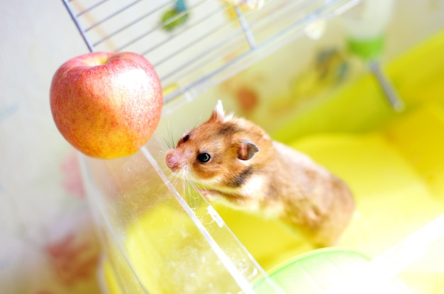 Funny hamster gets out of his cage and eating apple