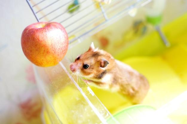 Забавный хомяк выходит из клетки и ест яблоко