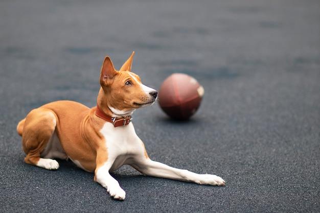 Смешная счастливая красивая собака играет с мячом в американский футбол