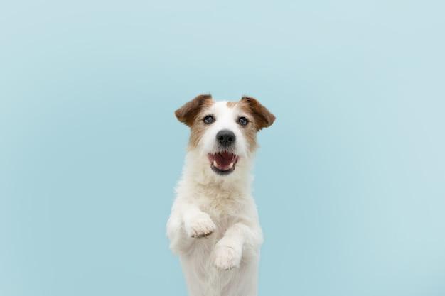 Смешная счастливая собака джек-рассел, стоящая на двух ногах