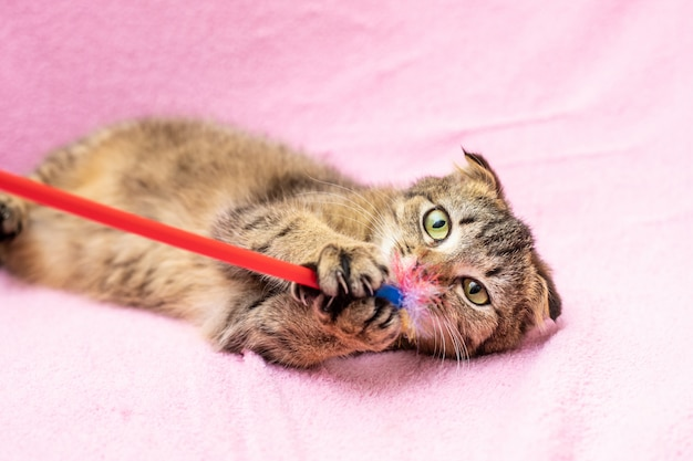 面白い幸せトラ猫がピンクで遊んでいます。