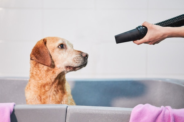 Funny head portrait of a scary looking labrador retriever being pointed with a blower tube