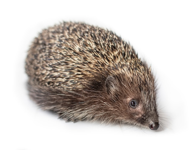 Funny hedgehog isolated on white