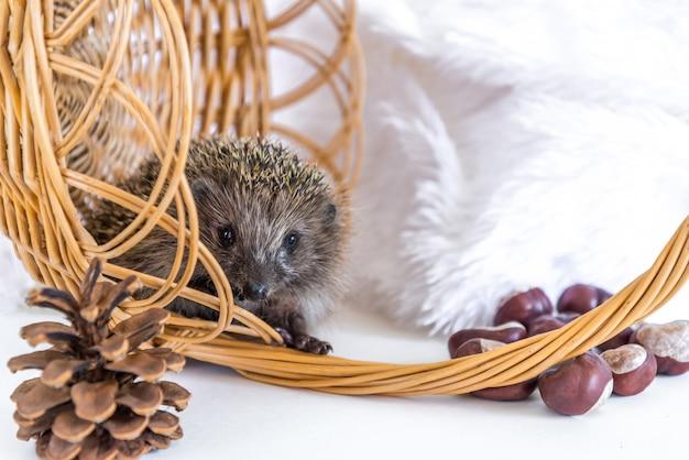 枝編み細工品のバスケットに座って、白で元気に笑っている面白いハリネズミ。