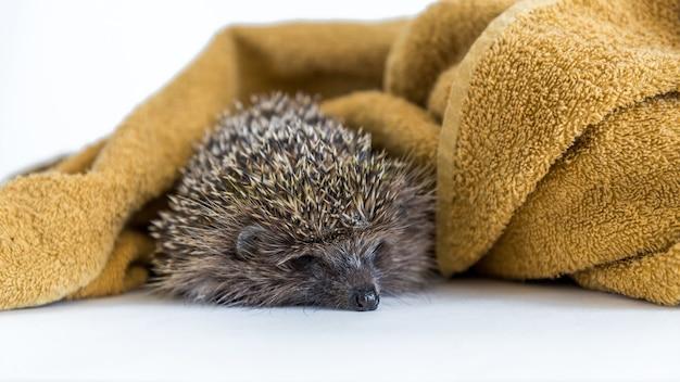 白で入浴した後、茶色のタオルの下で眠っている面白いハリネズミ。