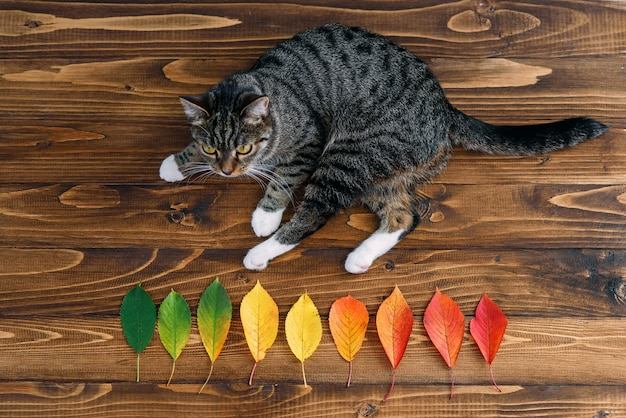Funny home cat lying on a wooden background and playing with autumn leaves