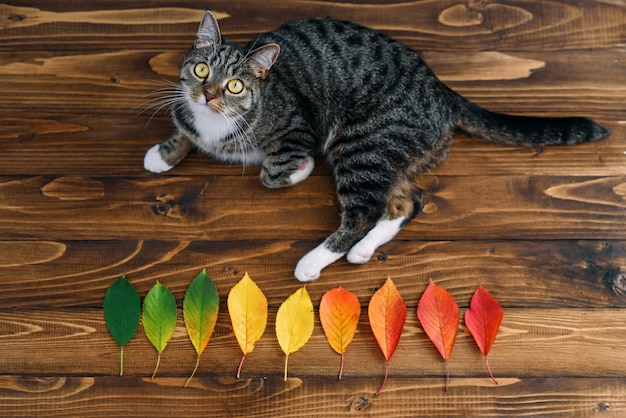 Funny home cat lying on a wooden background with autumn leaves and looking on the camera. funny pets.