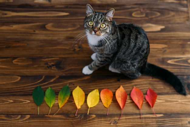 Funny home cat sitting on a wooden background with autumn leaves and looking for the camera. lovely pets.