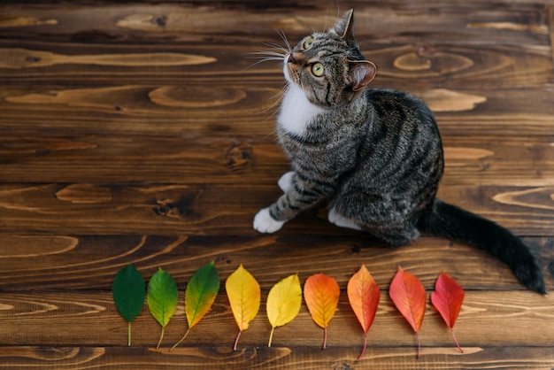 Funny home cat sitting on a wooden background with autumn leaves. lovely pets.