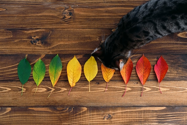 Funny home cat on a wooden background with autumn leaves