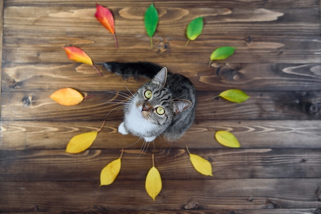 Funny home kitty sitting on a wooden background in the middle of the circle of autumn leaves and looking at the camera. lovely pets.