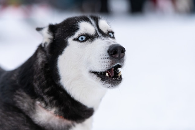 Funny husky dog portrait, winter snowy background. kind obedient pet on walking before sled dog training.
